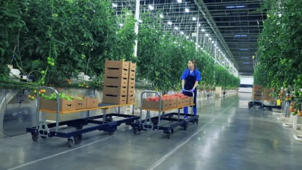 Zeleně a pracovnici převážející rajčata