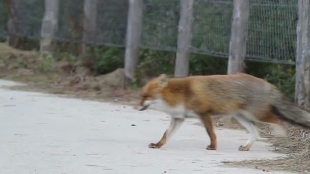 Red fox walks in the woods