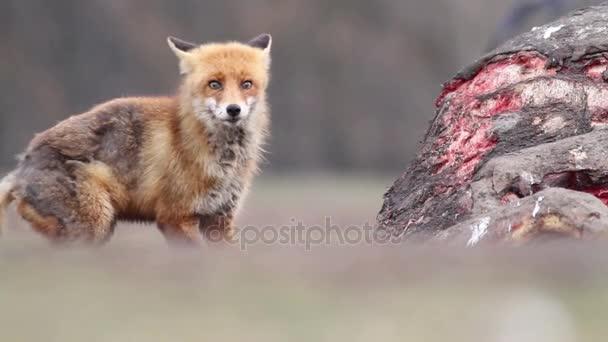 Volpe rossa mangia carne