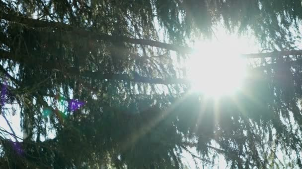 The suns rays illuminate the fir trees branches