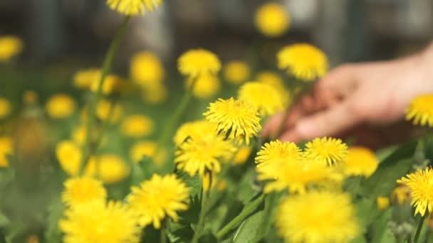 Muž výběrem kytice žluté pampelišky