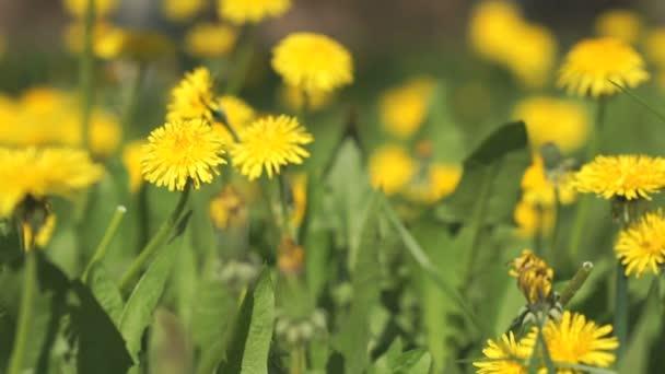 Žluté pampelišky na slunečný jarní den
