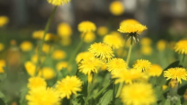 Osoba výběrem kytice žluté pampelišky