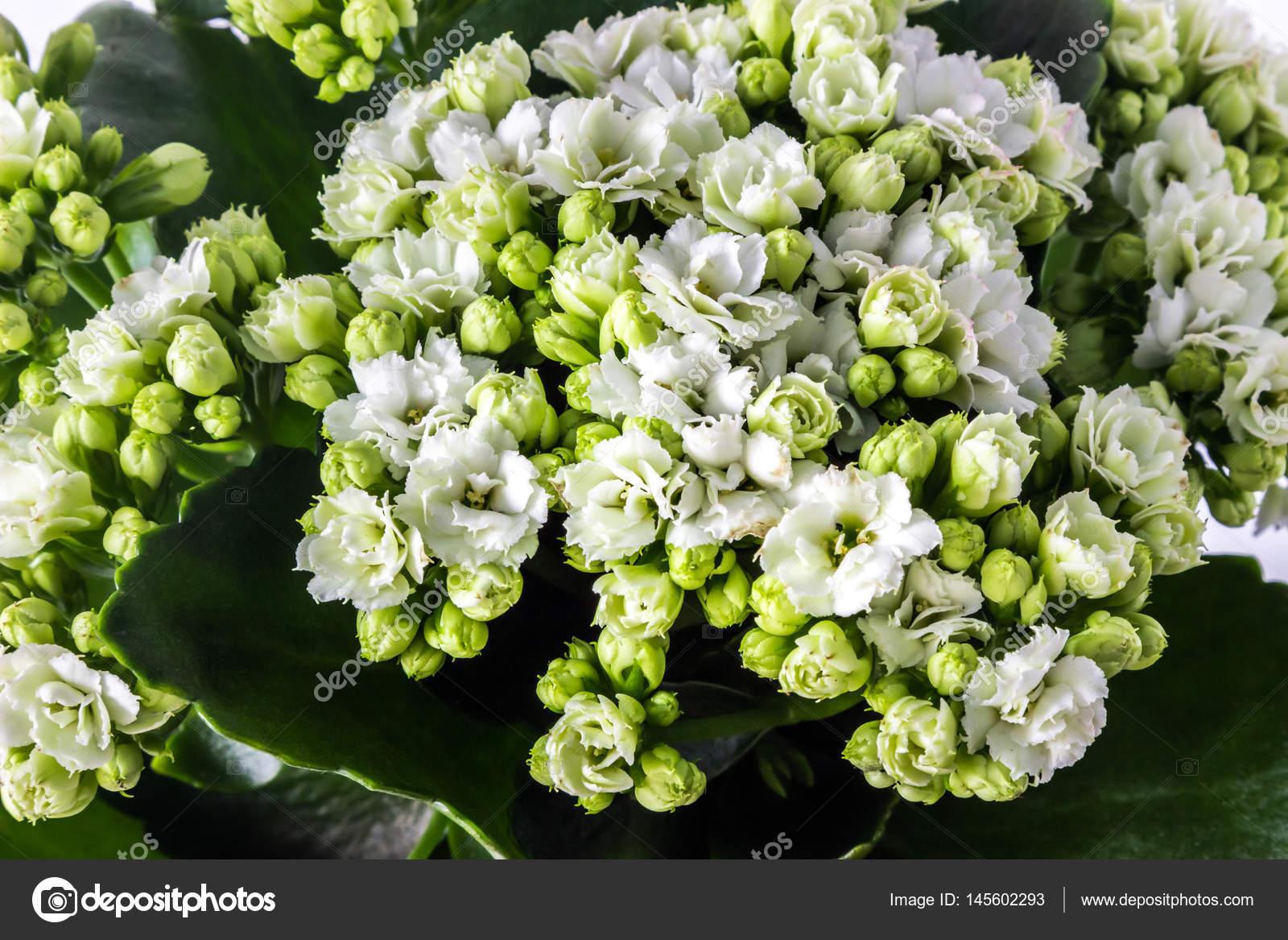 Kalanchoe Fiori Bianchi.Blossoming Of White Flowers Of Kalanchoe Calandiva Stock Photo