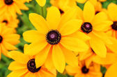Flower Rudbeckia or cone flower or black eyed susan