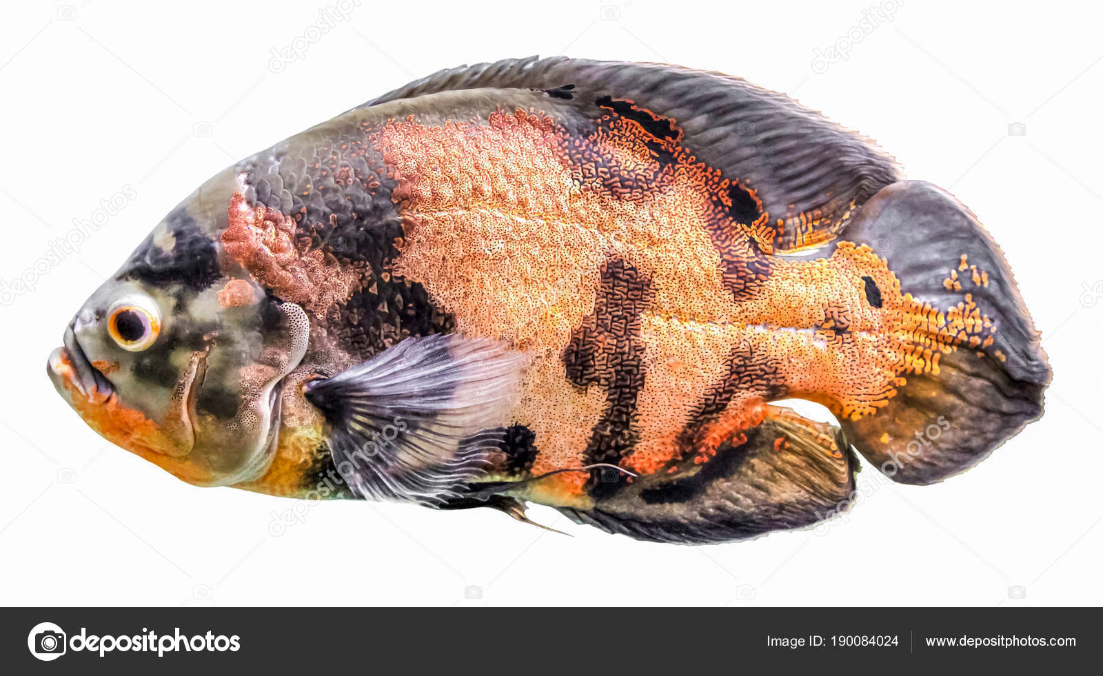 Aquarium Fish Cichlids Blue Acara Freshwater Tropical Isolated