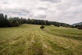 louka s izolované strom, cesta, ovce a les na pozadí v horách Beskydy