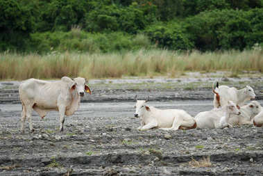 white cow in the Pinatubo