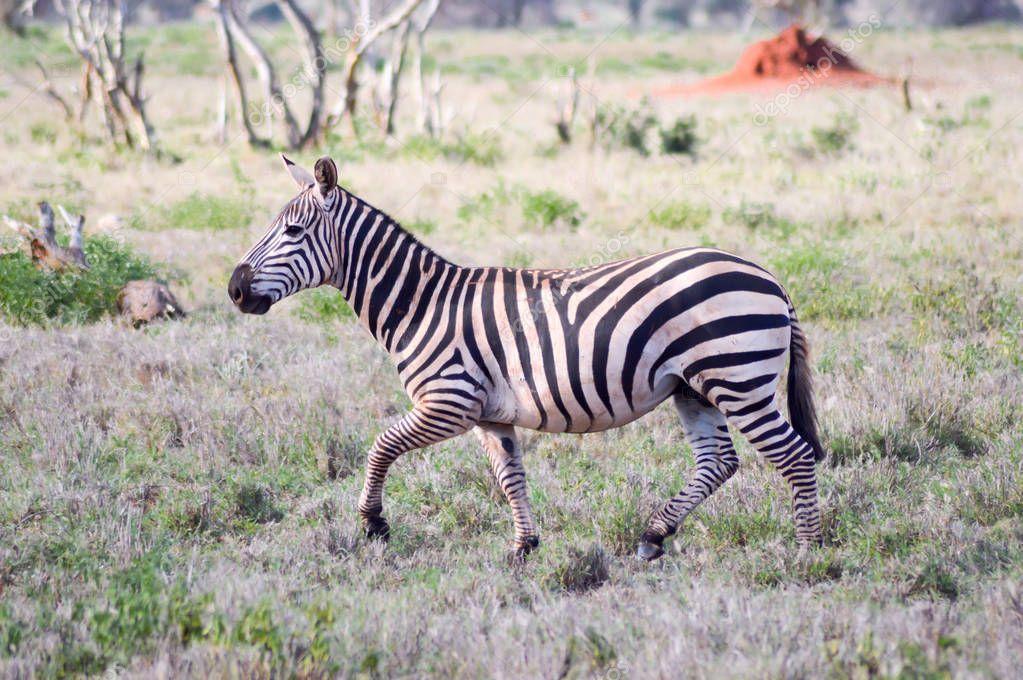 Zebra lying in the savanna