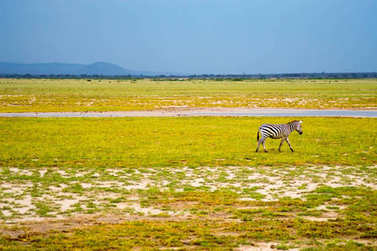 Isolated zebra gamboling in the savannah of Amboseli Park in Ken
