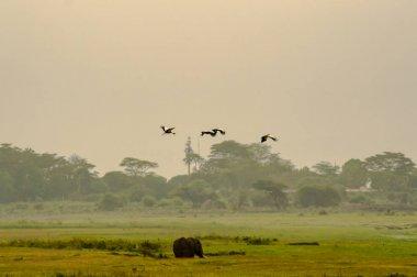 Elephant in amboseli park swamp with three royal cranes above hi