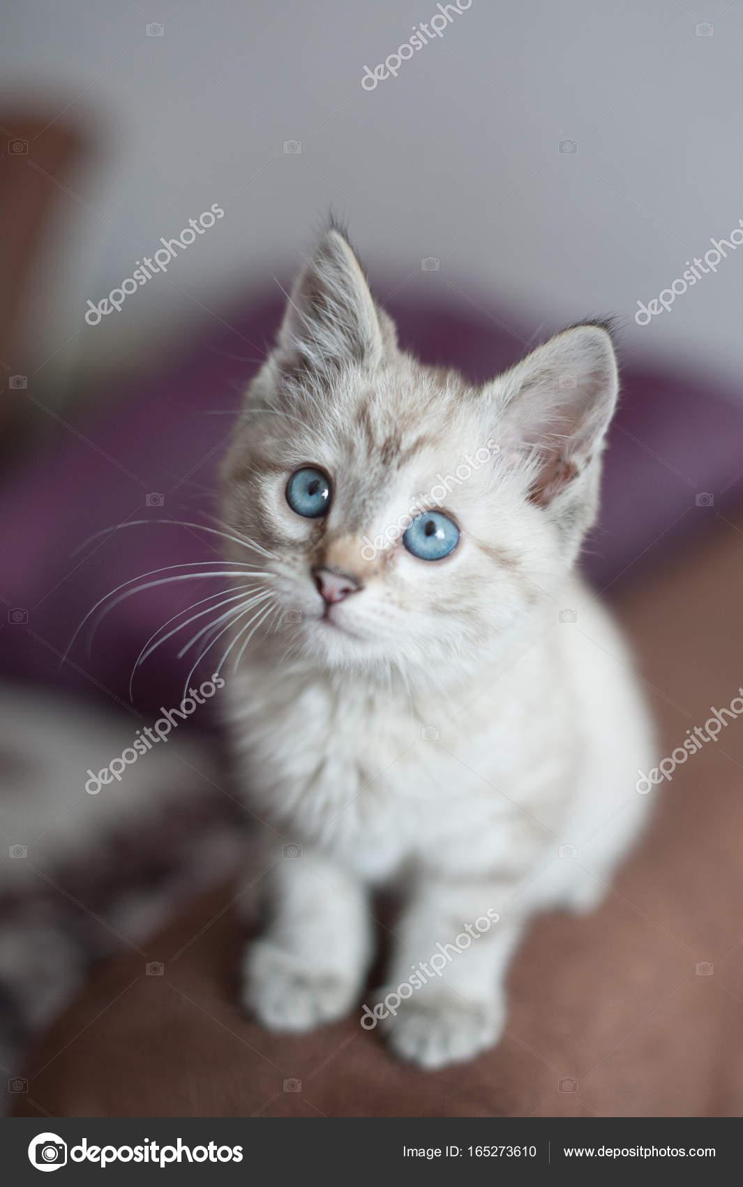 gatito de color claro — Foto de stock © Chekky #165273610