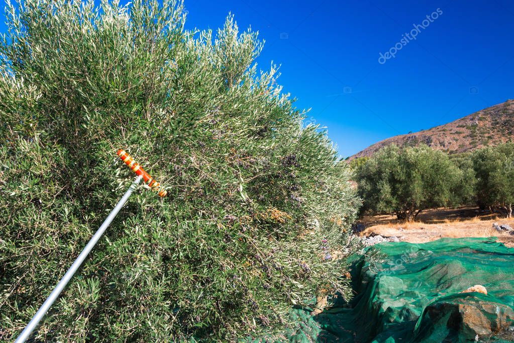 Fresh olives harvesting from agriculturists in a field of olive trees in Crete, Greece for extra virgin olive oil production