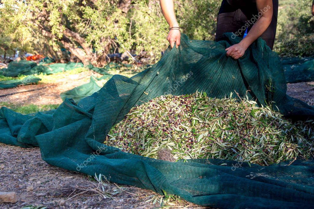 Harvested fresh olives in a field in Crete, Greece for olive oil production, using green nets.
