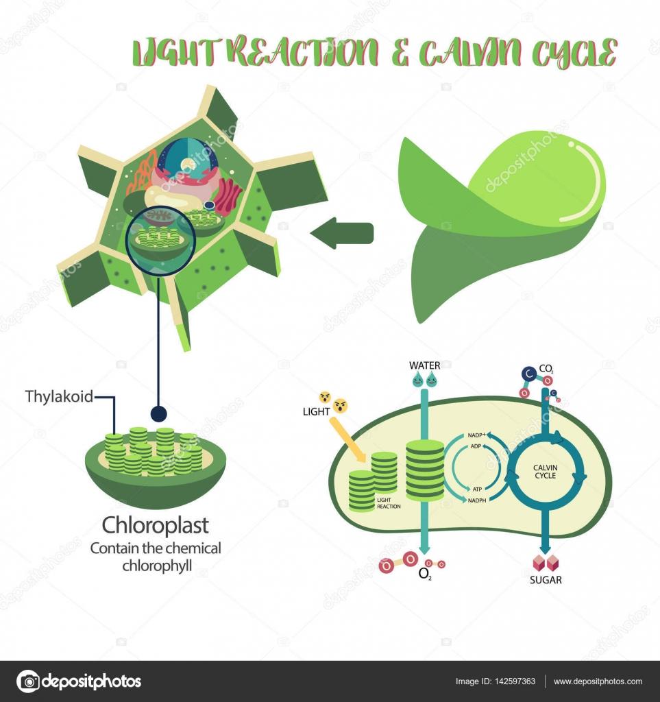 Photosynthesis process diagram stock vector pui2motifail photosynthesis plant cell diagram illustration vector design vector by pui2motifail ccuart Gallery