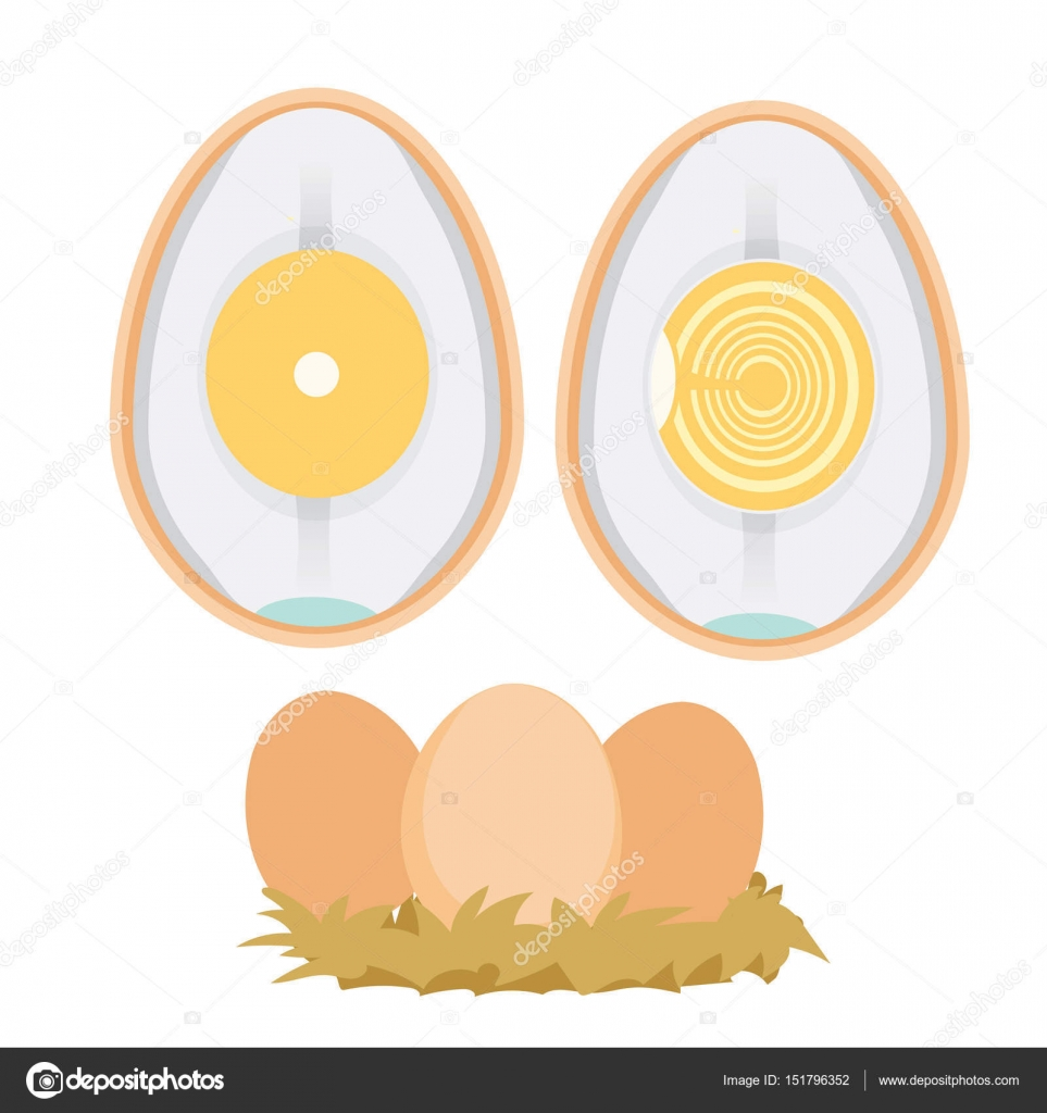 Chicken Egg Life Cycle Stock Vector Pui2motifail 151796352