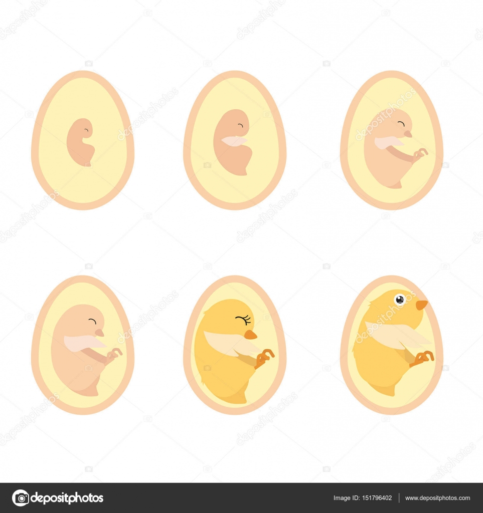 chicken egg life cycle — Stock Vector © pui2motif.gmail.com #151796402
