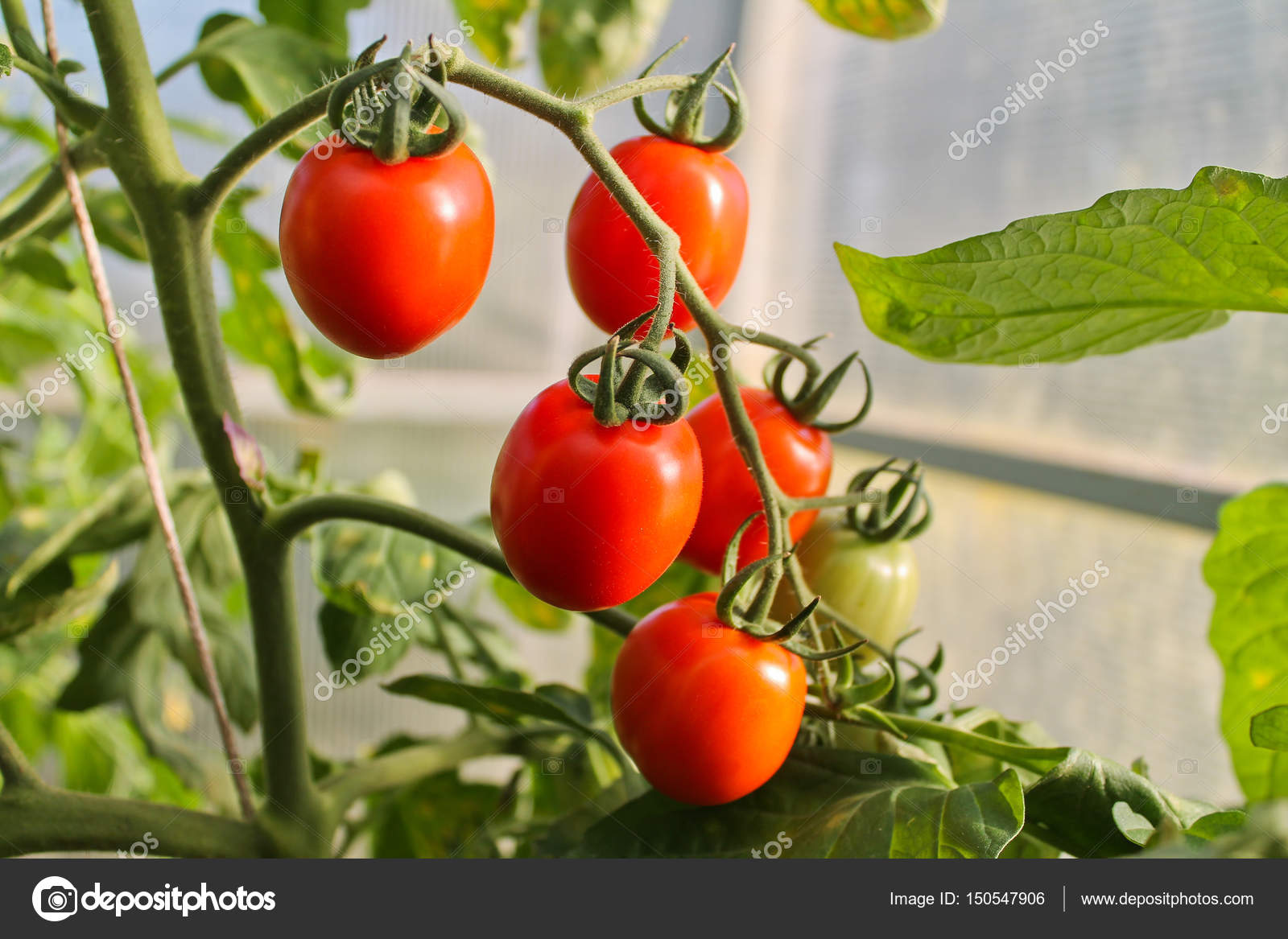 In the greenhouse tomato, agriculture — Stock Photo © tairalist bk