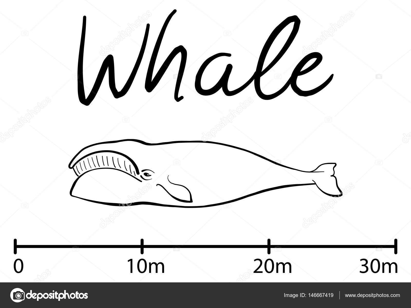 Silueta de la ballena, ballena azul aislado vector blanco y negro ...