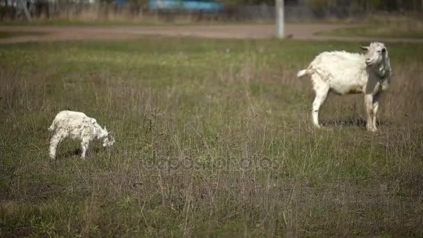 Dva domácí kozy, pasoucí se v poli