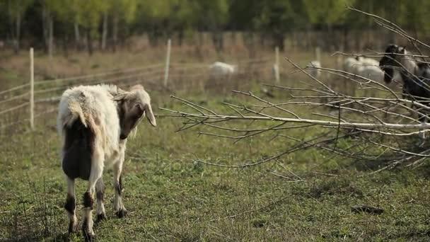 Domácí kozy v poli