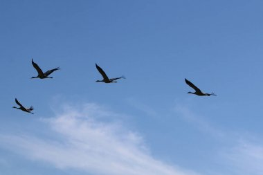 in the sky a flock of cranes