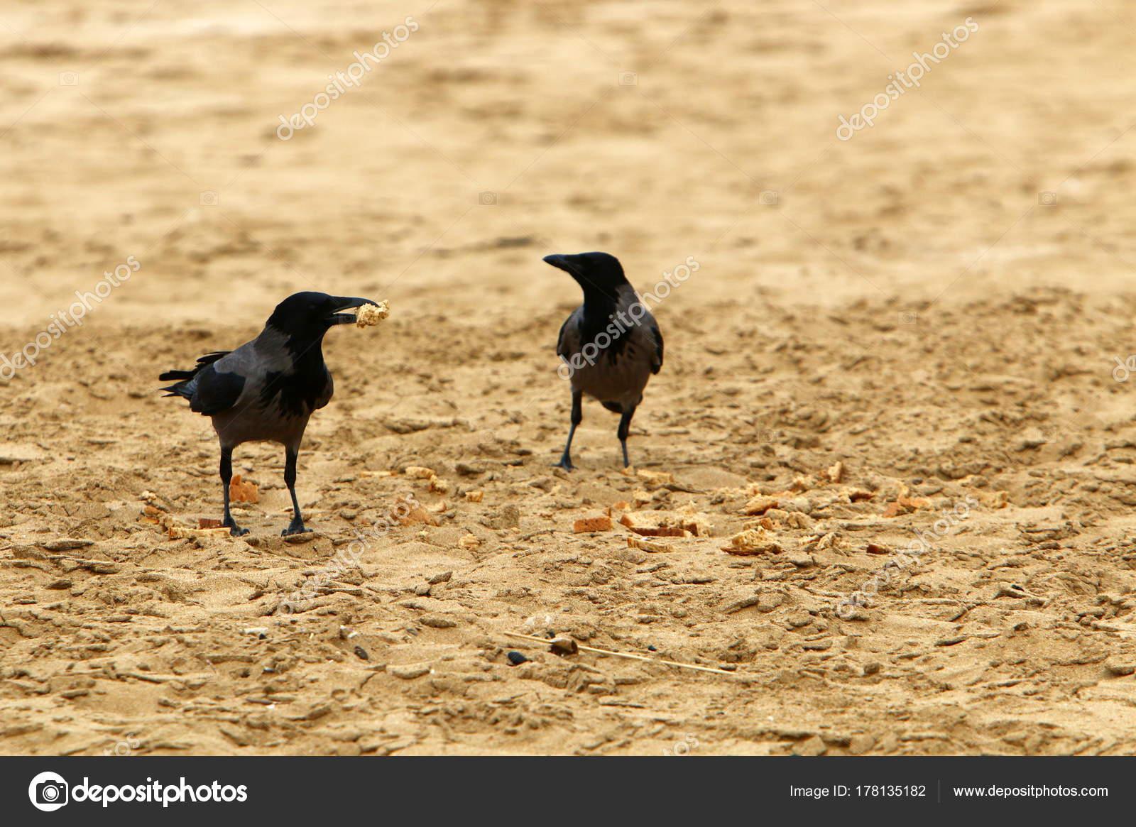 Μεγάλο μαύρο πουλί στην ασιατική