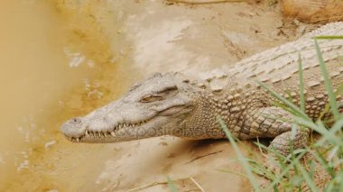 Crocodiles Resting at Crocodile Farm in Vietnam.