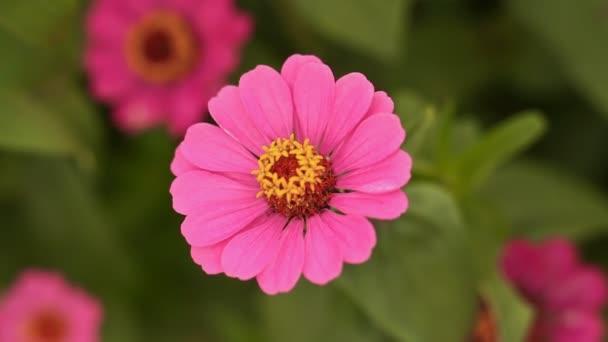 Gently pink zinnia flower close-up.