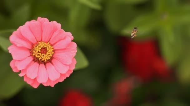Včela letí nad květina cínie. Detail