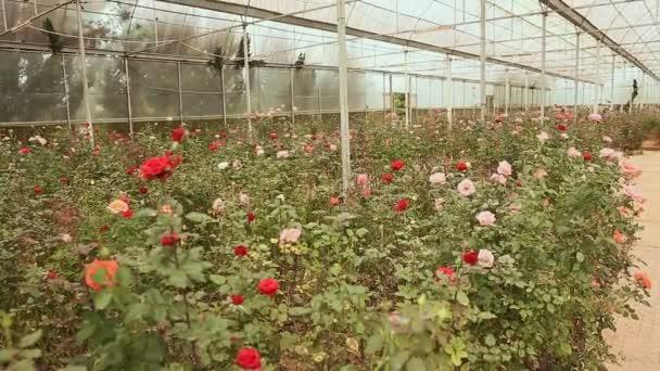 Skleník s růží v parku květin v Dalat. Střelba v pohybu