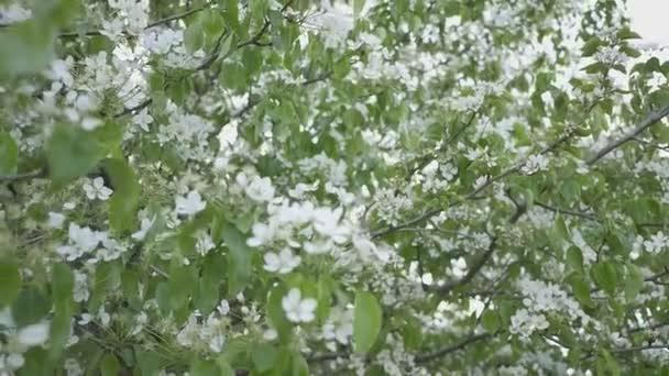 Kvetoucí hrušeň v zahradě. Jarní kvetoucí stromy. Opylování květů hrušní
