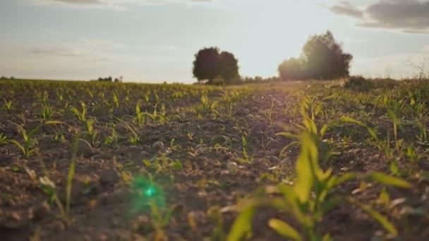Zblízka zelené obilí a na zahradě se sluneční světlo selektivní a měkké zaměření západ slunce. Večerní čas.