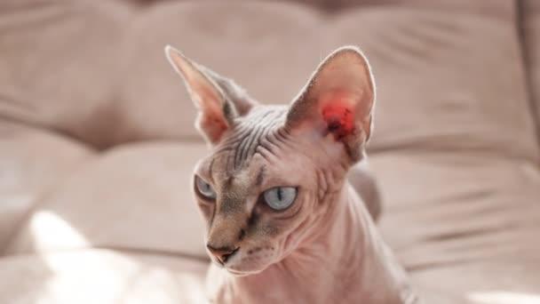 Katze Sphynx Rasse im Hausmüll