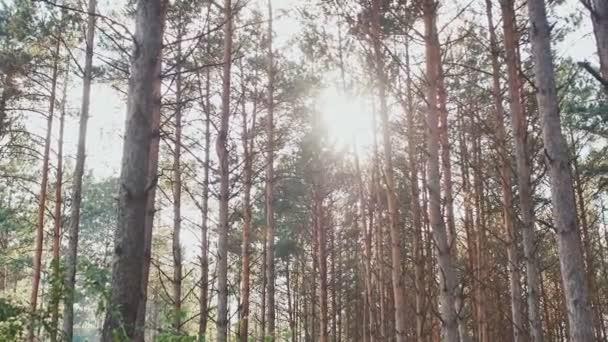 Vysoký Les borovic v paprscích slunečního světla. Příroda. Les
