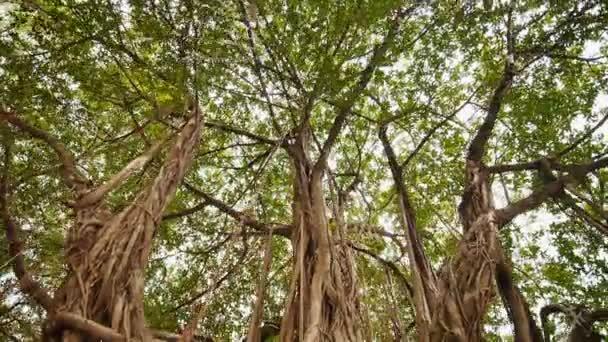 Paprsky světla svítí přes Banyan tree v džunglích. Ayala Triangle Park v Manile. Video fotografování kruhovým pohybem. Elektronická stabilizace.