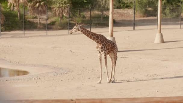 Zsiráf az állatkertben egy napsütéses napon.