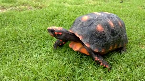 Egy narancskockás teknős mászik a fűben..