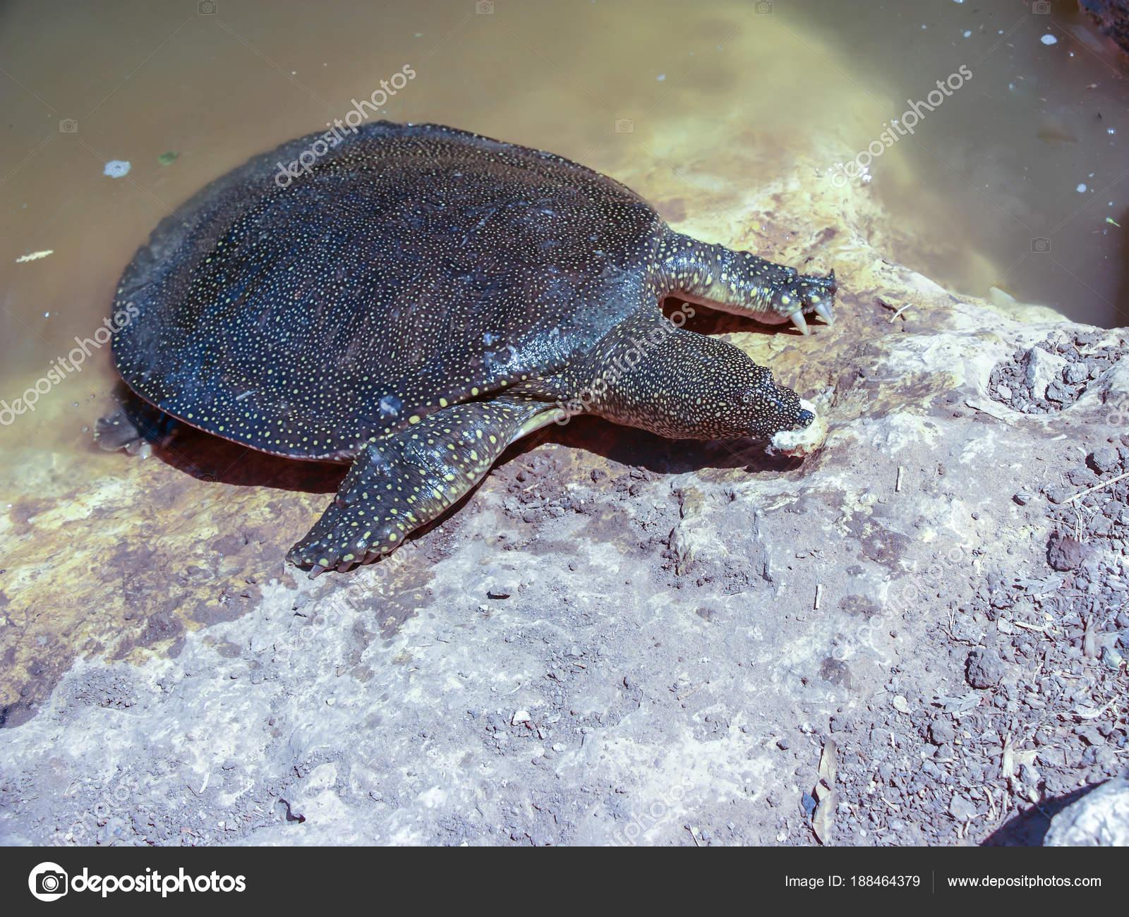 Картинки по запросу Мягкотелая морская черепаха в реке Александр.