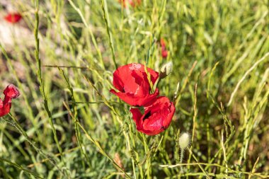 Red poppies grow in a meadow sprawled on the Golan Heights in northern Israel