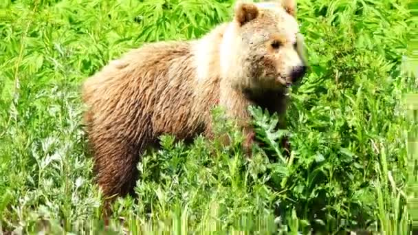 brown brown bear regales green grass