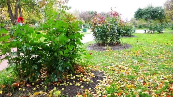 Umgestürzte Äpfel liegen auf dem Boden neben Büschen, die sich im Herbst im Wind wiegen