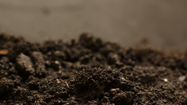 Klíčení semen roste v zemi zemědělství jaro léto Timelapse