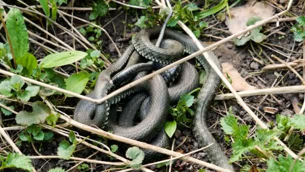 Mnoho velkých černá krysa had v trávě