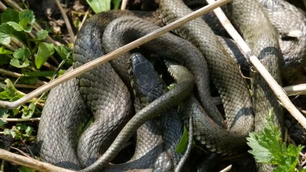 Sok nagy fekete patkány kígyó a fűben