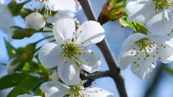 cherry blossom tree branch 4k flowers blue sky summer season beautiful