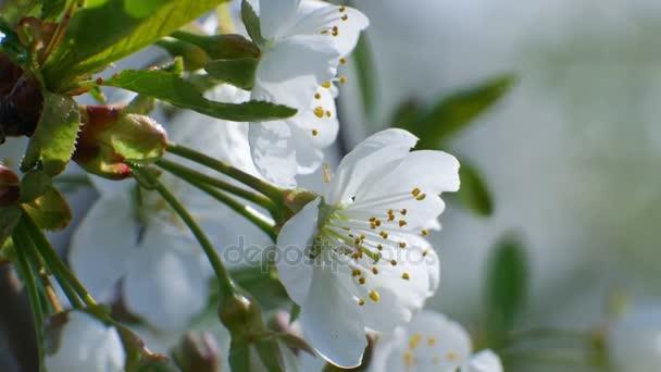 třešňového květu stromu větev 4k květy modrá obloha krásné letní sezóny