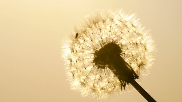 Spider in the sun shining at dandelion dawn background