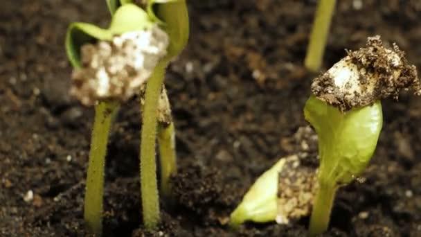 keimendes Saatgut in der Bodenlandwirtschaft Frühling Sommer Zeitraffer