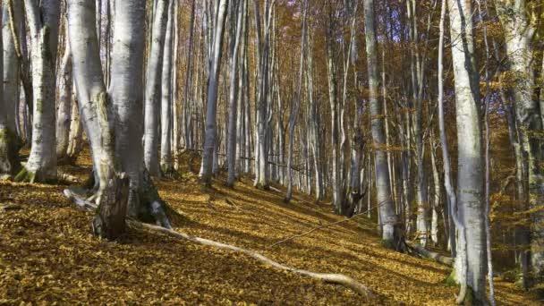 Kouzelný horský podzimní les se stromy rostoucími na kopcích. Teplé sluneční paprsky osvětlující kmeny a krásné rostliny.
